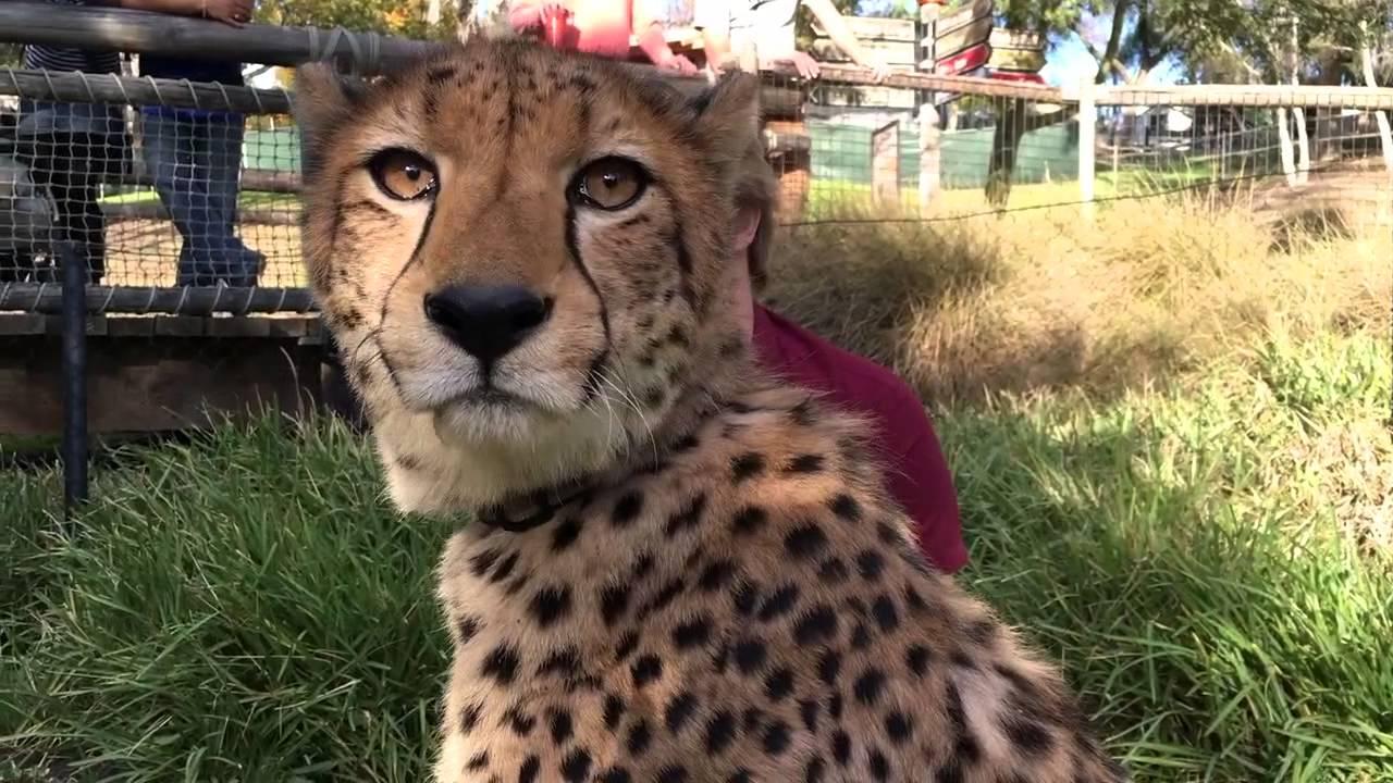 king cheetah brothers reign at the san diego zoo safari park youtube