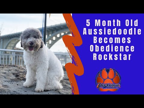 Knoxville Dog Trainers - 5 Month Old Aussiedoodle Becomes Obedience Rockstar in Two Weeks!