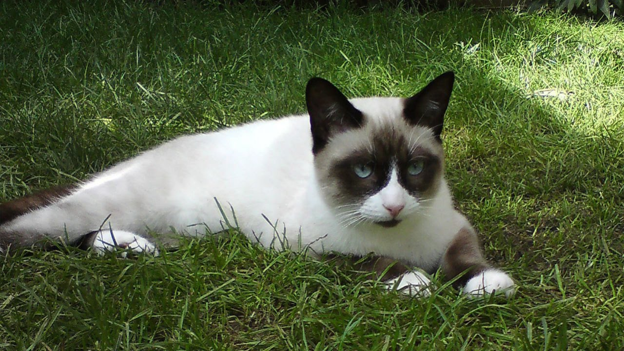 сноу-шу кошка фото