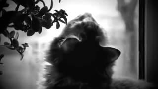 Породы кошек Мейн Кун