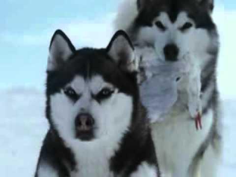 Про собак!!! Поиск этого фильма .flv