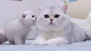 British kittens meet Big Silver cat first time   Baby cats 1 month after birth   Silver Chinchilla