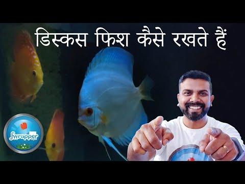 डिस्कस फिश कैसे रखते हैं || How To Keep Discus Fish In Hindi