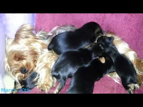 Adorable Yorkshire Terrier Puppies - 3 boys 1 girl