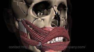 Cover images anatomy muscles mouth head 3d medical animation company studio 3d visualization health care san anto