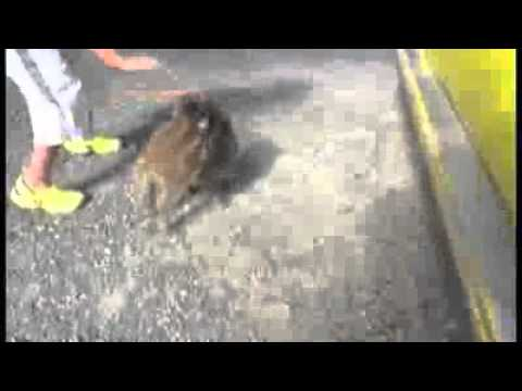 Baby Monkey Rides a Pig
