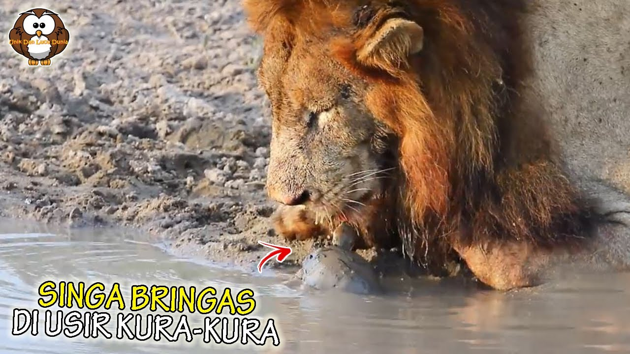 Kura-Kura Agresif ini Nekat Usir Singa dari Sumber Air! Tak di Sangka Yang Terjadi Selanjutnya