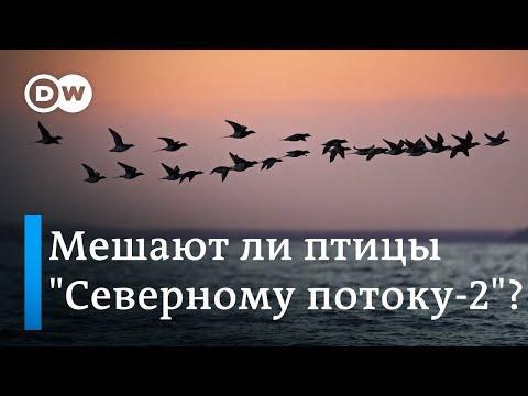 Сенат США заставил Газпром ускориться, но Северному потоку-2 мешают птицы. DW Новости (17.12.2019)