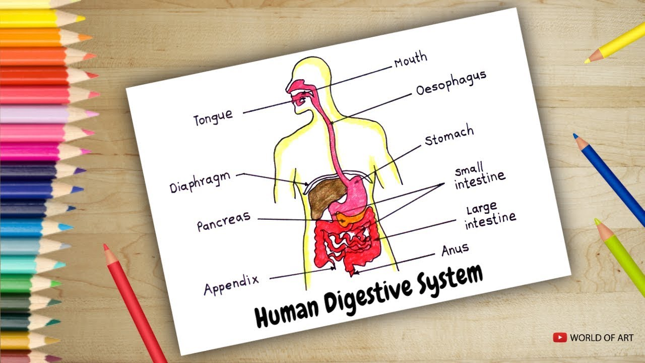 Human Digestive System Diagram Drawing For Student