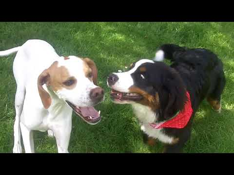 Bernese Mountain Dog Murphy & English Pointer Gizmo all loved up.