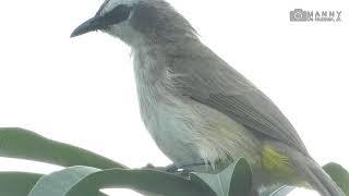 Maya and Bulbul Philippines Birds (1-26-2019 Birdwatching session)