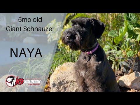 5MO OLD GIANT SCHNAUZER 'NAYA'/DOG TRAINING