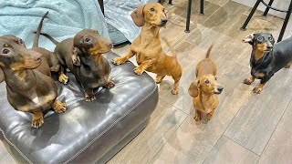One Half Hour Enjoyable time with Sausage dogs puppies funny videos compilation , Playful Dachshund