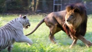 Big Cats in Slow Mo