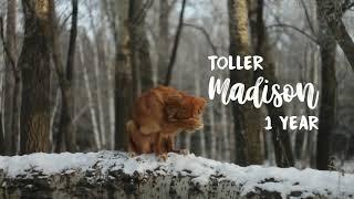 Nova Scotia Duck Tolling Retriever Annylmel's Story A Rebellion Off Madison, 1 year (tricks)