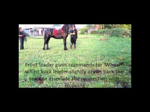 Introducing a young horse to long reining {La Cherut Horse Training}