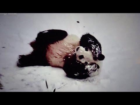 Papa Tian Tian's Great Snow Day (2/20/2019)