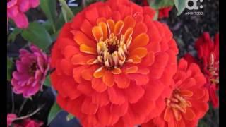 Голова садовая. Как выращивать цинии (майоры)