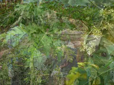 GENCIX® au Burkina Faso: La culture des feuilles de papayer