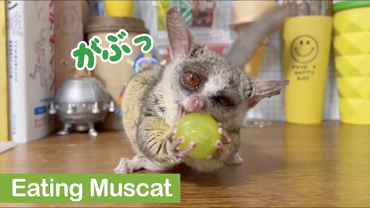 シャインマスカットにかぶりつく小さなお猿 / Bushbaby eating a Muscat / ショウガラゴのピザトル