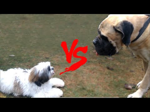 Try Not To Laugh Challenge - English Bull Mastiff VS Shih Tzu You Never Seen Before Must Watch