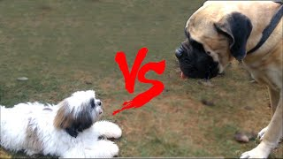 Download Try Not To Laugh Challenge - English Bull Mastiff VS Shih Tzu You Never Seen Before Must Watch