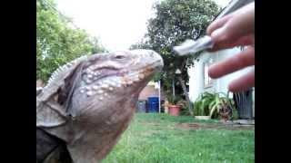 My Buddy- A Pet Lizard LIke A Dog !! LOL