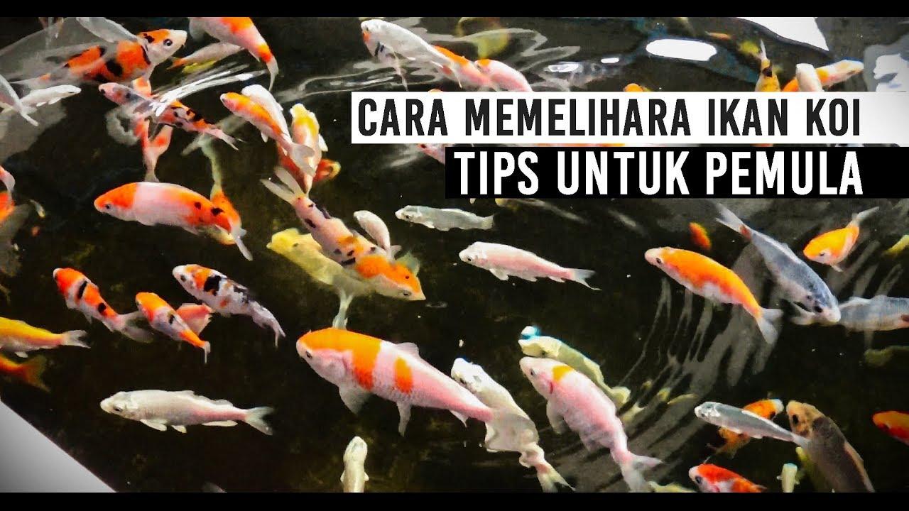 Cara Budidaya Ikan Koi Di Kolam Beton - InfoAkuakultur.com