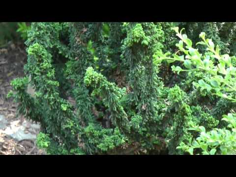 Hinoki Cypress - Chamaecyparis Obtusa 'Chirimen' & Cham. Obtusa 'Nana'  American Conifer Society