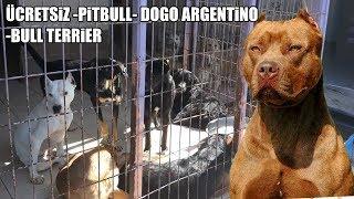 ÜCRETSİZ PİTBULL, DOGO ARGENTİNO, BULL TERRİER ( KÖPEK BARINAĞINI ZİYARET ETTİM ) free dogs