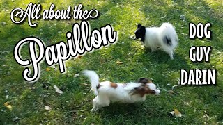 ALL ABOUT THE PAPILLON | FRENCH BUTTERFLY EAR DOG | MEET THE DOGS | DOG GUY DARIN |PAPILLON DOG INFO