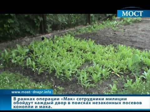 Посев мака во дворе днепропетровчанина   ИА Мост-Днепр   ИА Мост-Днепр - Днепропетровск