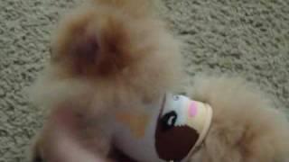 "Super Tiny Micro Pocket Teacup Pomeranian ""pola"""