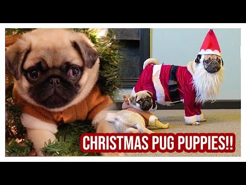Doug The Pug - Christmas Pugs
