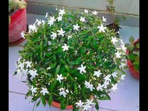 Chandani plant update    how to grow chandani tree    part 2