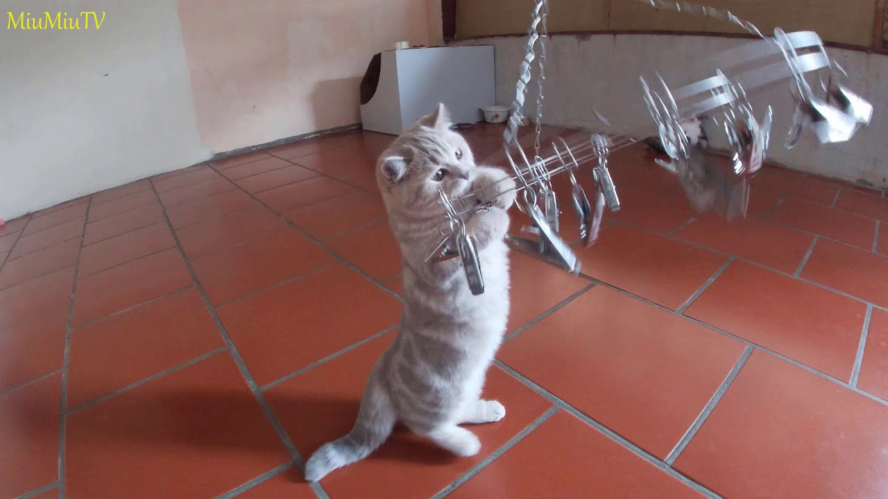 Munchkin cats enjoy playing with clothes clips