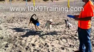 Iq K9's First Day At The Beach | Del Mar Dog Beach