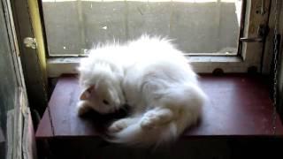 Моя белая кошка Снежок