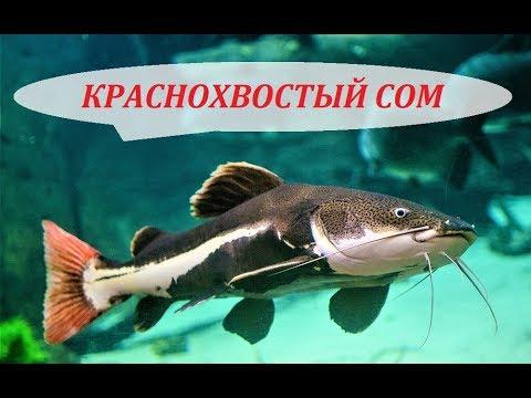 Краснохвостый Сом Фрактоцефалус. Содержание в аквариуме, кормление и совместимость