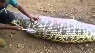 vuclip Anaconda eaten a pig
