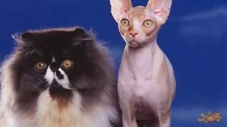 Галерея прикольных кошек #Прикольное видео про кошек #Приколы с кошками #Funny cats #LUCKY(Коты бывают разные: И чистые, и грязные, Худые, полосатые, Блохастые, пузатые, Коварные и добрые, Диванные..., 2014-09-24T15:59:20.000Z)