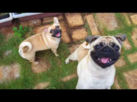 funny pet videos - pug dogs and monkey pet animals - purebred dogs cute - SuBin#25