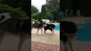 Jubilee the Husky loves to play