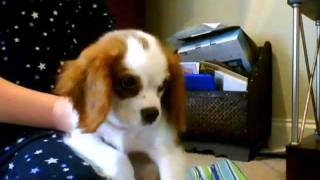 Willy The Little Dancing Cavalier King Charles Spaniel!