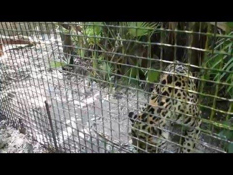 Belize Zoo - Jaguar Cage Experience 2016 Mar. 26