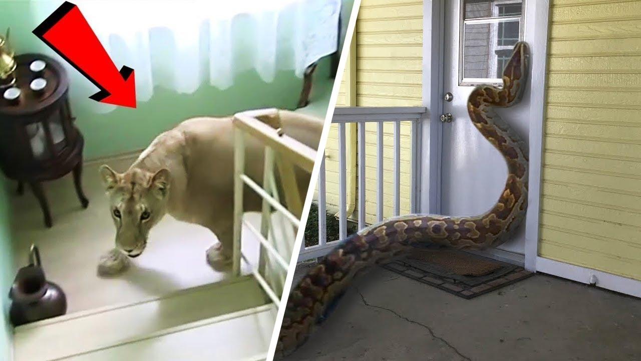 شاهد ماذا حدث اقتحام حيوانات مفترسة و خطيرة منازل بعض الأشخاص !