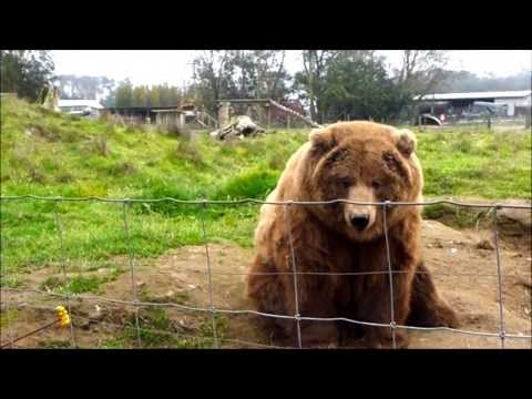 Waving Bears! Olympic Game Farm • Sequim, Washington