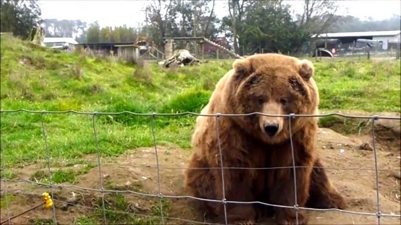 Waving Bears Olympic Game Farm Sequim Washington Youtube