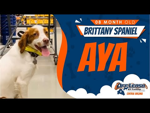 8 M/O Brittany Spaniel (Aya) | Fredericksburg, Va | Best Dog Trainers In Virginia