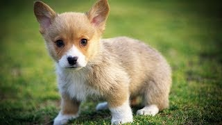 Corgis Are Going Extinct?!